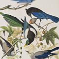 Yellow-billed Magpie Stellers Jay Ultramarine Jay Clark's Crow by John James Audubon