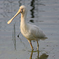Yellow-billed Spoonbill by Tony Brown