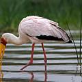 Yellow-billed Stork, Lake Baringo by Aivar Mikko