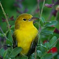 Yellow Bird by Brenda Purvis