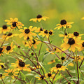 Yellow Black Eyed Susan Wildflowers In Summer by Carol Mellema