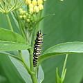 Yellow Black  White Caterpillar by Creations by Shaunna Lynn