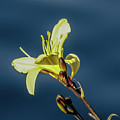 Yellow Bloom by Kristofer M Johnson