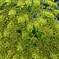 Yellow Blossoms Of Green Aeonium In Huntington Desert Garden In San Marino-california  by Ruth Hager