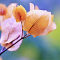 Yellow Bougainvillea by NAJE Foto - Nelly Rodriguez