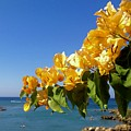 Yellow Bougainvillea Over The Mediterranean On The Island Of Cyprus by Clay Cofer