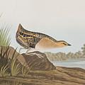 Yellow-breasted Rail by John James Audubon