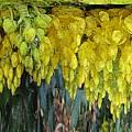 Yellow Buds by Tim Allen