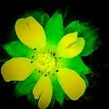 Yellow Buttercup On Black Background by Debra Lynch