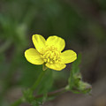 Yellow Buttercup by FineArtRoyal Joshua Mimbs