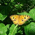 Yellow Butterfly by Anita Goel