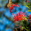 Yellow Butterfly On Red Flowers by David Lockwood