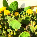 Yellow Cactus Blossoms 594 by Greg Hammond