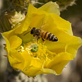 Yellow Cactus Flower With Wasp by Jean Noren