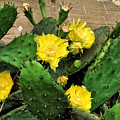 Yellow Cactus Flowers by John Trommer