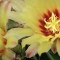 Yellow Cactus Plant Flower by Michalakis Ppalis