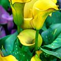 Yellow Calla Lilies by Az Jackson