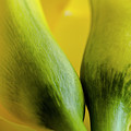 Yellow Calla Lily Flowers by Teri Virbickis