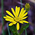 Yellow Camphorweed by Michael Whitaker