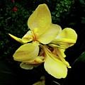 Yellow Canna  by Alida M Haslett