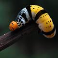 Yellow Caterpillar by Abdul Gapur Dayak