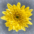 Yellow Chrysanthemum Flower by Liz Leyden