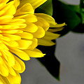 Yellow Chrysanthemum Flower by Reva Steenbergen