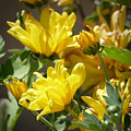 Yellow Chrysanthemum by Laurel Powell