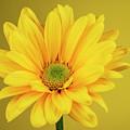 Yellow Chrysanthemum On Yellow by Vishwanath Bhat