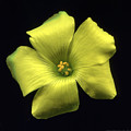 Yellow Clover Flower by Kat Saarloos