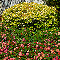 Yellow Coleus And Lantana At Pilgrim Place In Claremont-california by Ruth Hager