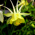 Yellow Columbine 1 by Judy Vincent