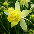 Yellow Columbine 3 by Judy Vincent