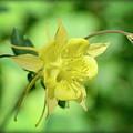 Yellow Columbine  by Saija  Lehtonen