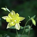Yellow Columbine Squared by Teresa Mucha