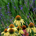 Yellow Coneflowers And Lavender 1633 H_2 by Steven Ward