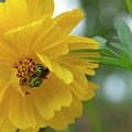 Yellow Cosmos Flower by Olga Hamilton