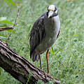 Yellow-crowned Night Heron 2 by Paula Ponath