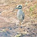 Yellow Crowned Night Heron Along The Tidal Creek by Karen Silvestri