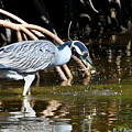 Yellow Crowned Night Heron Catches A Crab by Barbara Bowen
