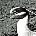 Yellow Crowned Night Heron. by Jorge Gaete