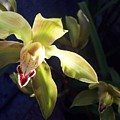Yellow Cymbidium And Shadows by Jean Booth