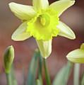 Yellow Daffodil by Garden Gate magazine