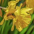 Yellow Daffodil May 2016. by Leif Sohlman