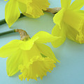Yellow Daffodils Artwork Spring Flowers Art Prints Nature Floral Art by Baslee Troutman