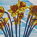 Yellow Daffodil's   by Cliff Norton
