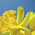 Yellow Daffodils Flowers Art Blue Sky Spring Baslee Troutman by Baslee Troutman