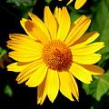 Yellow Daisey by Lennie Malvone