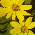 Yellow Daisies by Brenda Plyer