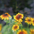 Yellow Daisies In Monets Garden by Jennifer McDuffie